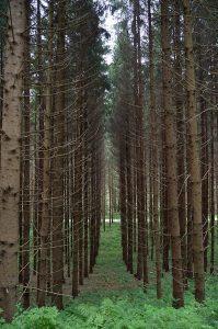 Mono-culture forest
